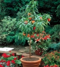 you-can-dwarf-fruit-trees-in-pots-and-growing-trays-on-the-balcony-0-235