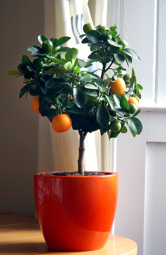 You can dwarf fruit trees in pots and growing trays on the balcony