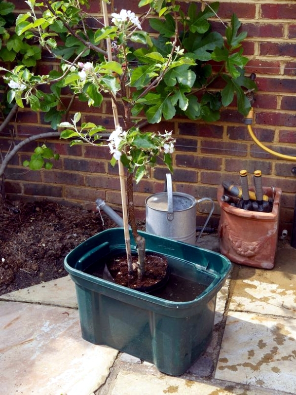 Insert The Roots Of Tree On Ground And Spread Gently Then Fill Container With Potting Soil While Until Are Completely