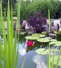 aquatic-plants-in-the-garden-pond-these-are-your-favorites-0-279