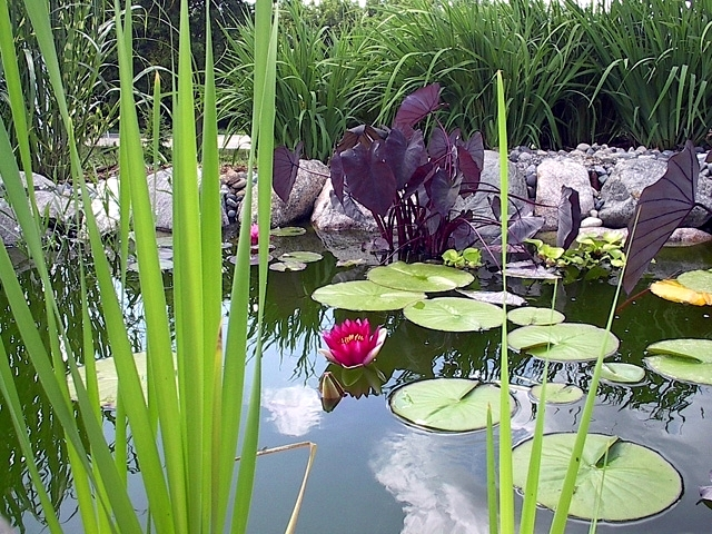 Aquatic Plants In The Garden Pond These Are Your
