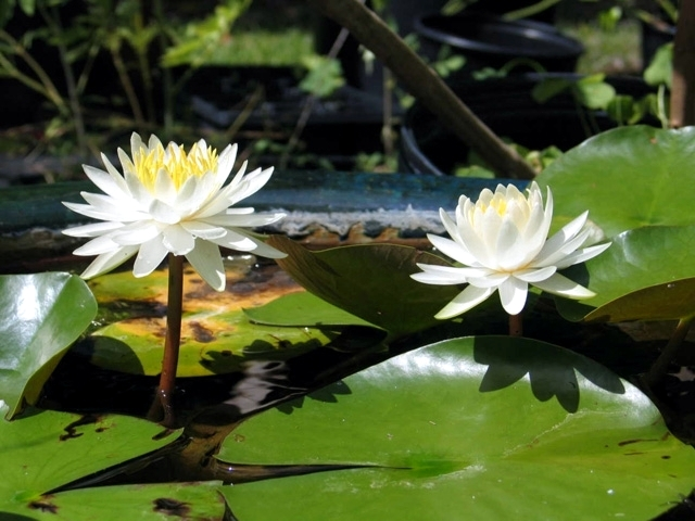 Aquatic plants in the garden pond - these are your favorites?
