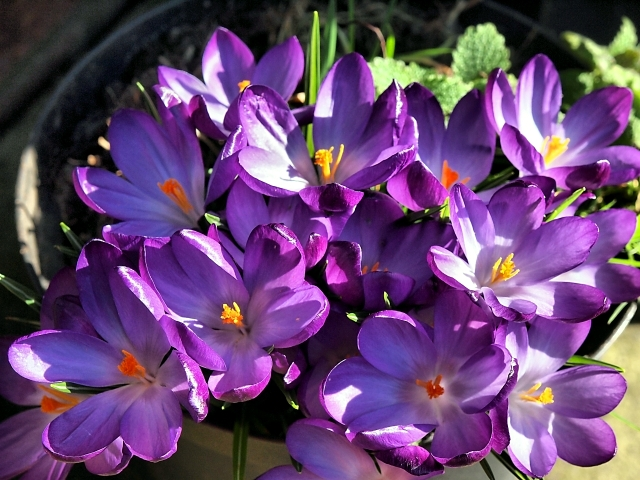 Plant crocus in flower pot - What to consider when interviewing?