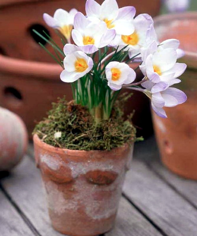 Plant crocus in flower pot – What to consider when ...