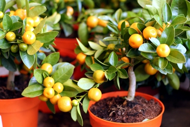 Tips for growing Calamansi: Choose the right variety