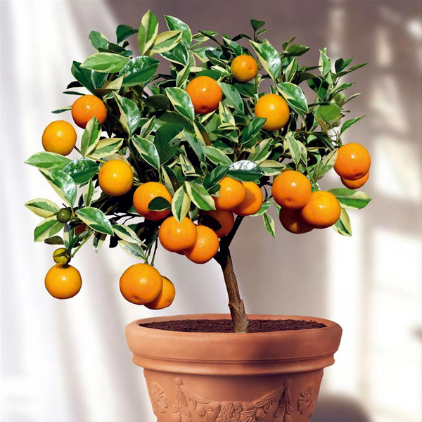 Fruit Trees In Pots Varieties Of Fruits That You Can