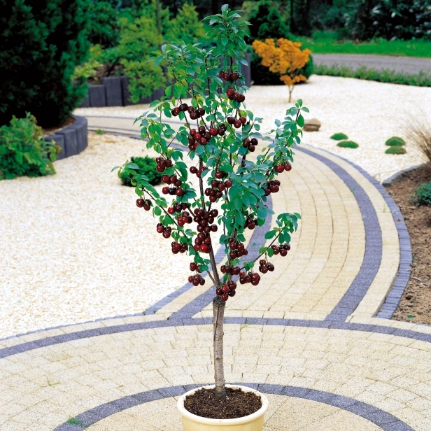 Fruit trees in pots - varieties of fruits that you can grow in containers