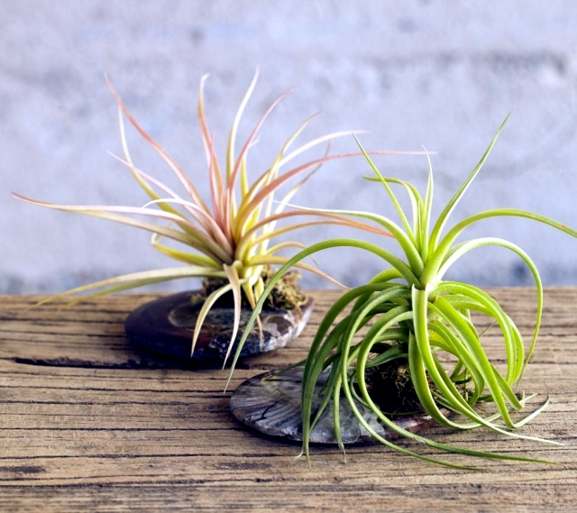 Rootless air plants in a terrarium - Tillandsia properly maintain