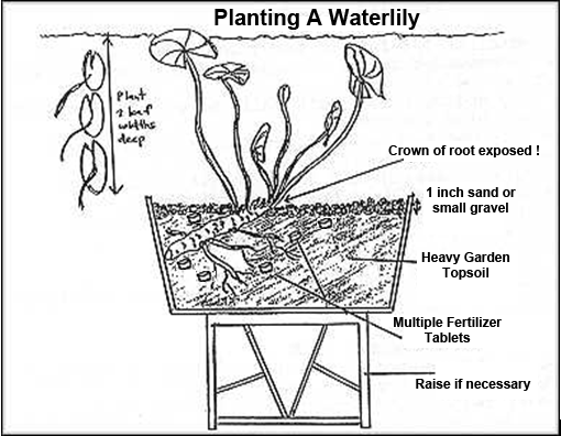 lily plants in the pond - instructions and maintenance tips