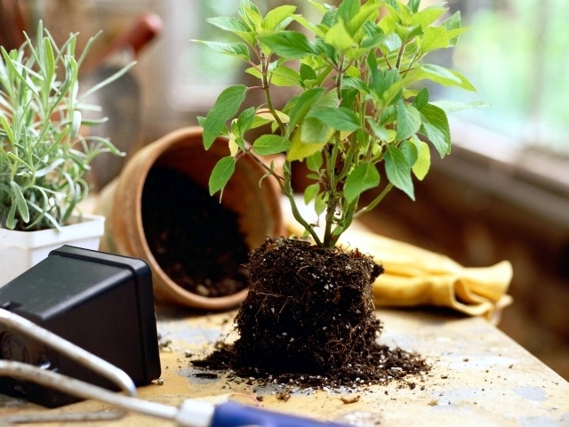 Some rules you should consider when transplanting flowers