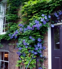 tips-for-planting-care-and-cutting-clematis-climbing-plants-0-495