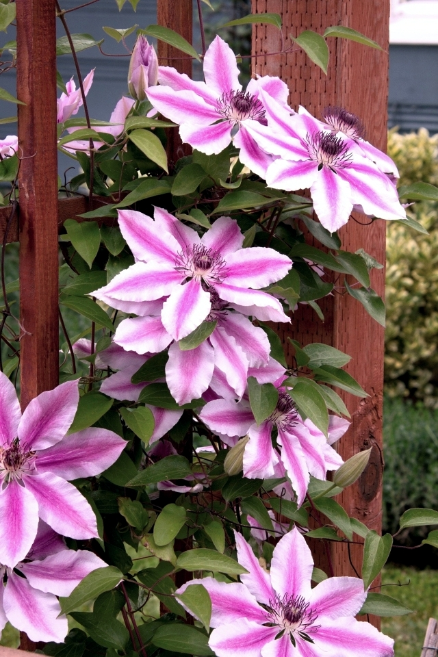 Tips For Planting Care And Cutting Clematis Climbing