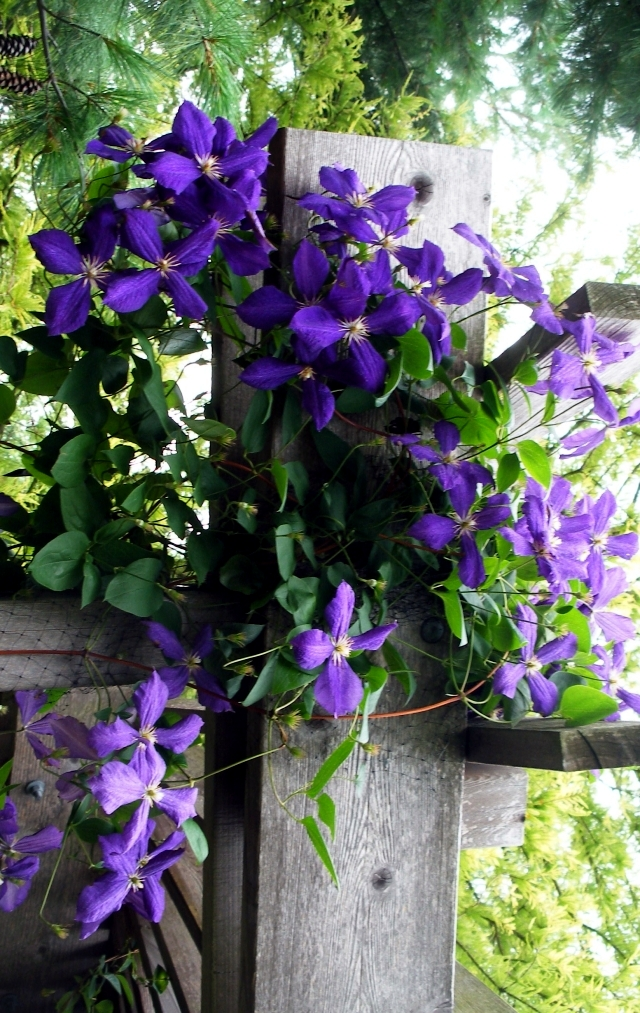 clematis climbing plants  u2013 tips for planting  care and cutting