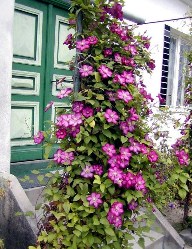 clematis climbing plants tips for planting care and. Black Bedroom Furniture Sets. Home Design Ideas