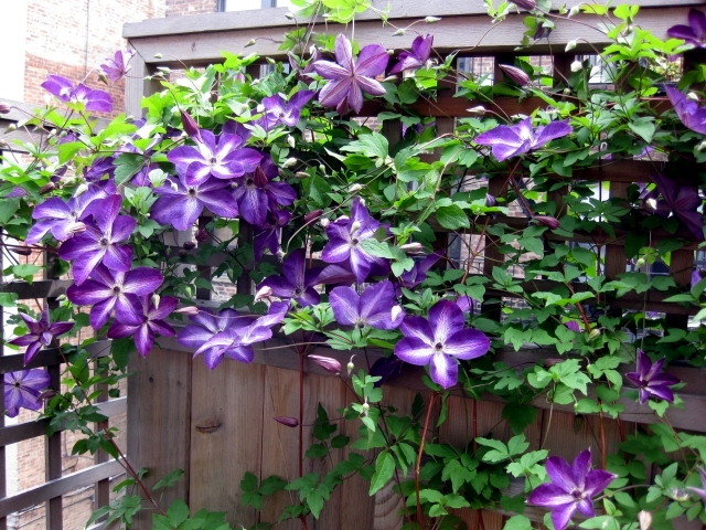 tips for planting care and cutting clematis climbing plants - Climbing Plants