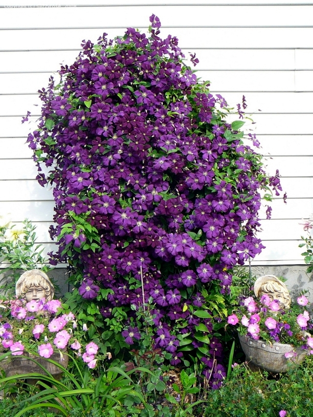 clematis climbing plants tips for planting care and cutting interior design ideas ofdesign. Black Bedroom Furniture Sets. Home Design Ideas