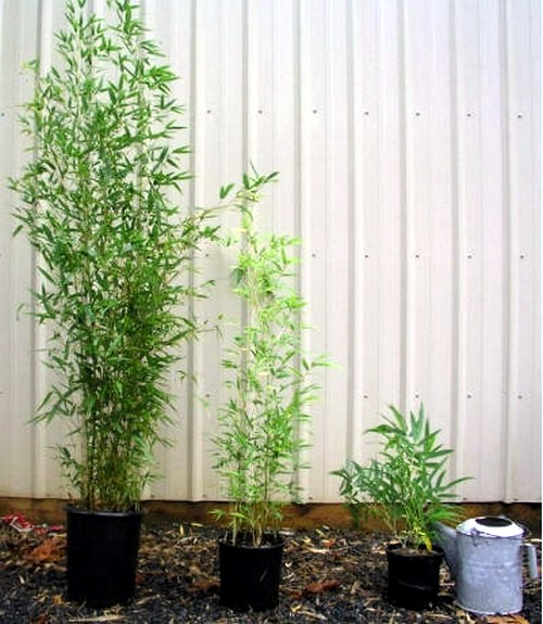 Yes Bamboo garden do at home - important garden design ideas