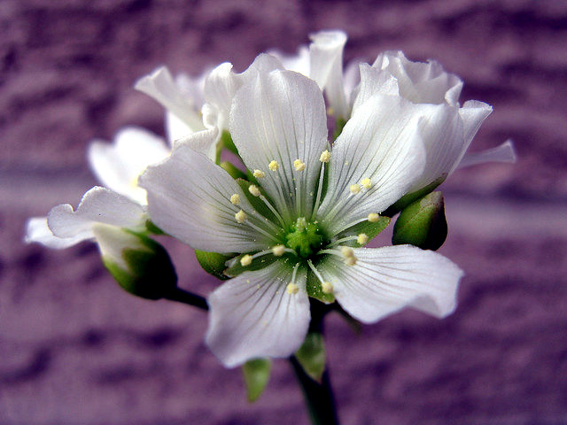 Care carnivorous plants - Venus Flytrap