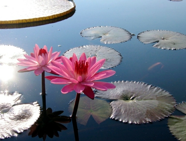 Creating a Water Garden - Planting instructions Water lilies in pond