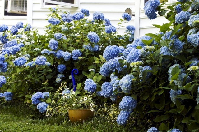 how to grow hydrangeas from a cutting