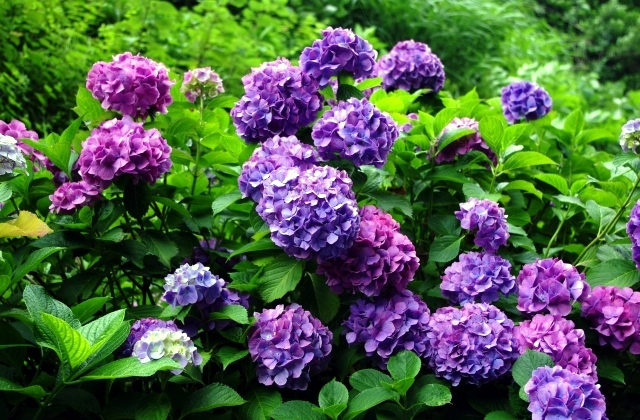 Hydrangeas in the garden - Tips for planting, care, fertilization, cutting