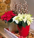 winter-flowering-plants-are-beautiful-as-christmas-decoration-0-564