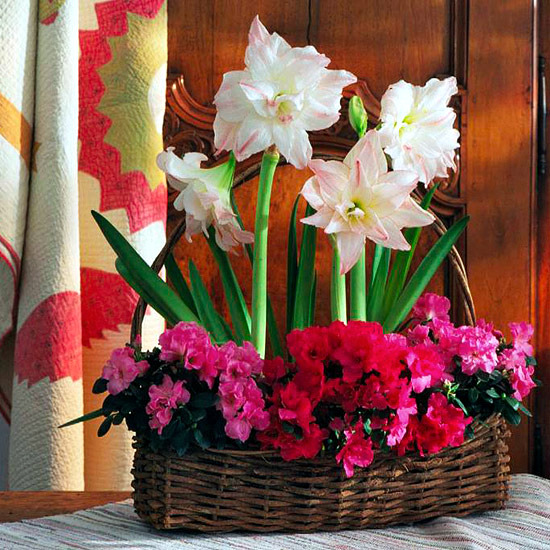 Winter flowering plants are beautiful as Christmas decoration