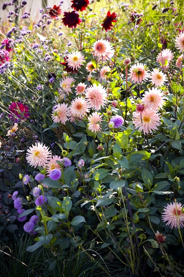 Tips Dahlias - plant, care for winter and summer flowers