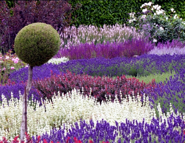 Lavender Is A Fragrant Shrub That Can Last Up To 20 Years To Decorate The  Garden. The Plant Actually Comes From The Mediterranean / France And Italy  / And ...