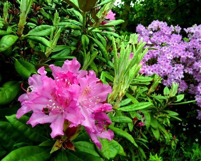 Rhododendron in gardening tips for planting, care, fertilization, cutting