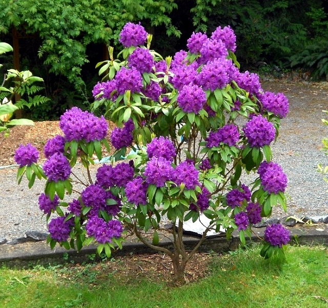 Rhododendron in gardening tips for planting care fertilization cutting interior design - Care azaleas keep years ...