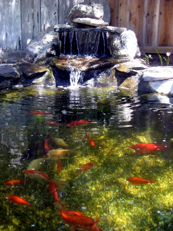 Creating A Koi Pond   Useful For Design Of Water Garden Information