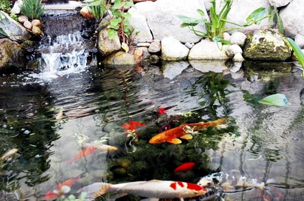 Creating a Koi Pond useful for design of water garden