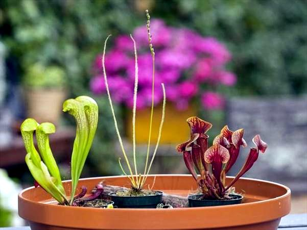 Carnivorous plants grow at home - what is to be observed