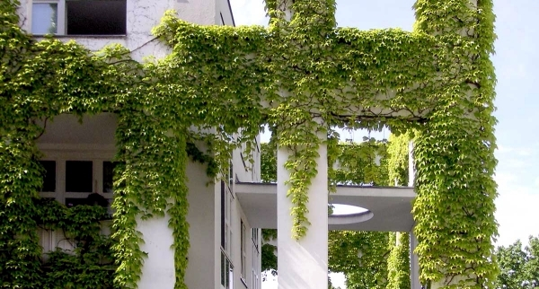 Facade with ivy Greening - Instructions for evergreen facade decoration
