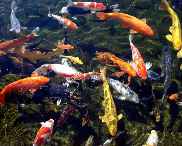 Koi pond in the garden tips on how to select the fish for Koi pond size
