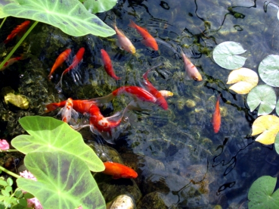 Pond through the winter what to look for water plants and for Goldfish pond depth