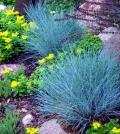 suitable-for-rock-garden-plants-the-blue-fescue-0-391150259