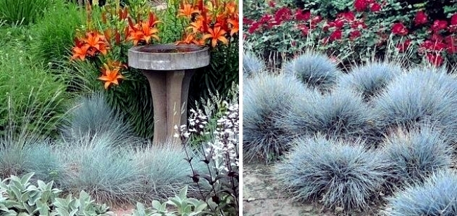 Suitable for rock garden plants: the Blue Fescue