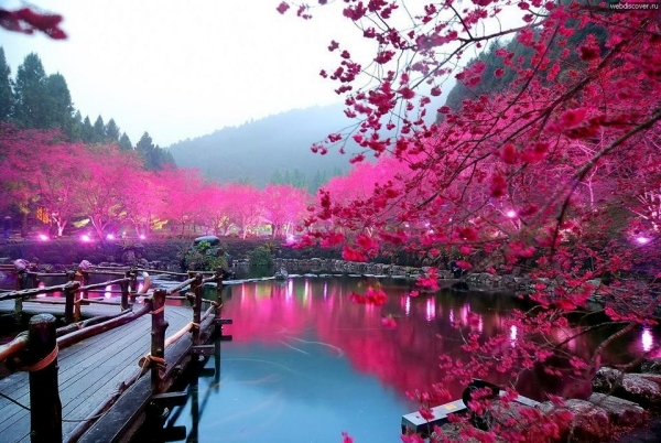 The Sakura flowers in Japan watch - a dream vacation in the spring